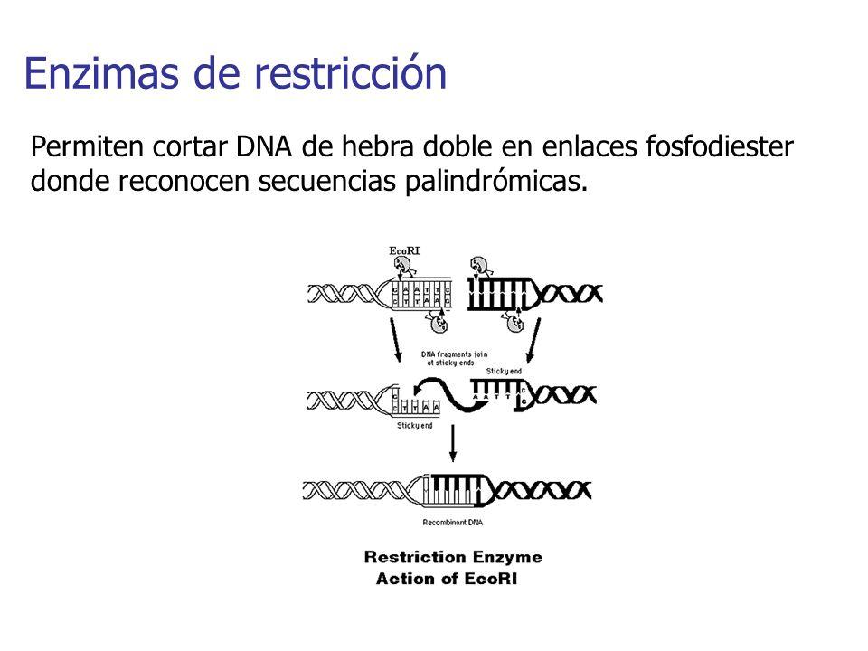 Enzimas de restricción Permiten cortar DNA de hebra doble en enlaces fosfodiester donde reconocen secuencias palindrómicas.