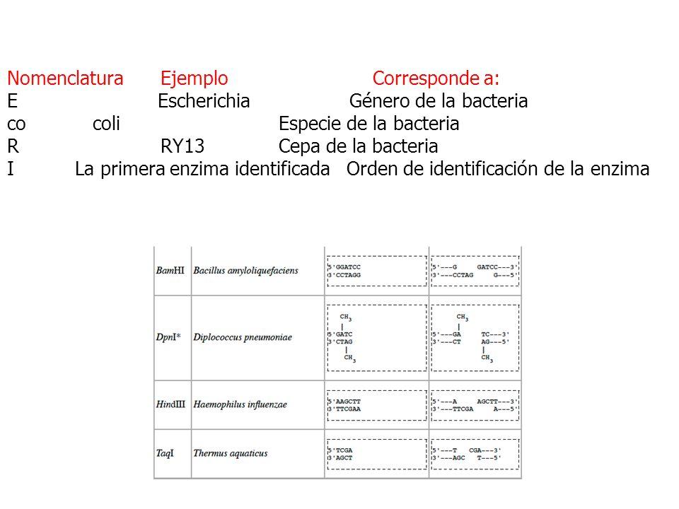 Nomenclatura Ejemplo Corresponde a: E Escherichia Género de la bacteria co coli Especie de la bacteria R RY13 Cepa de la bacteria I La primera enzima