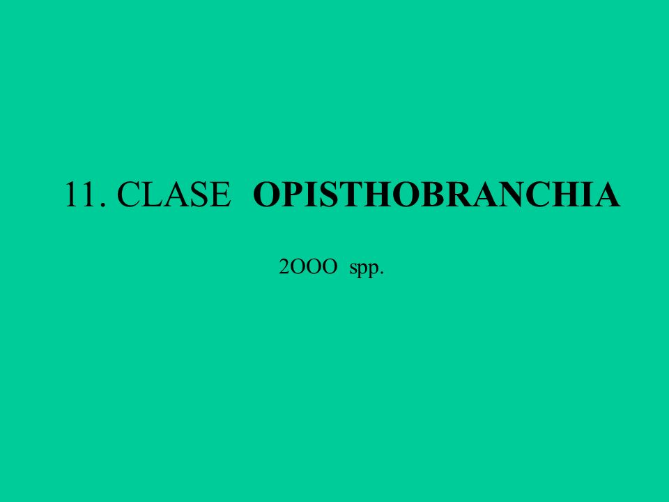 11. CLASE OPISTHOBRANCHIA 2OOO spp.