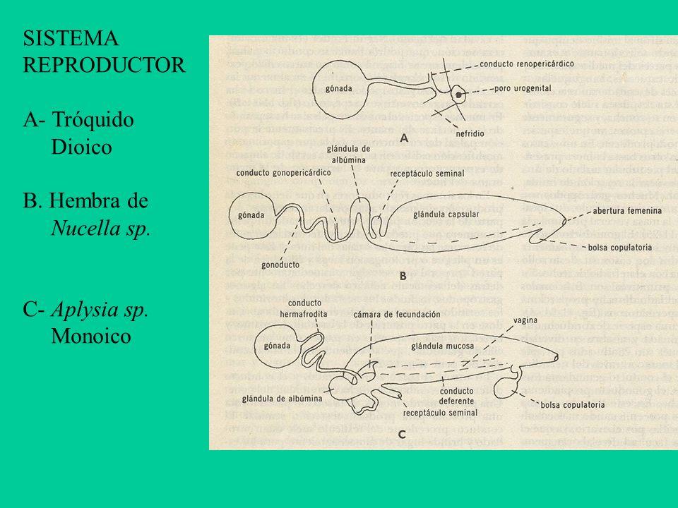 SISTEMA REPRODUCTOR A- Tróquido Dioico B. Hembra de Nucella sp. C- Aplysia sp. Monoico