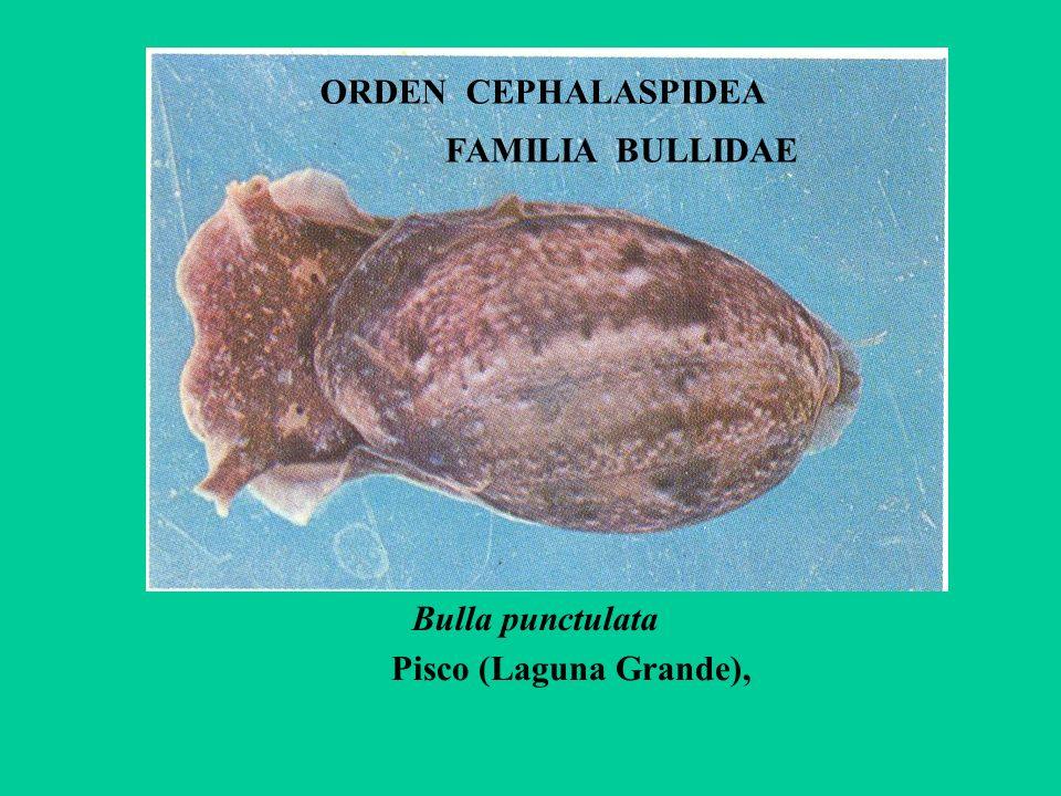 ORDEN CEPHALASPIDEA Bulla punctulata Pisco (Laguna Grande), FAMILIA BULLIDAE