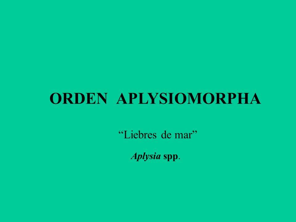 ORDEN APLYSIOMORPHA Liebres de mar Aplysia spp.