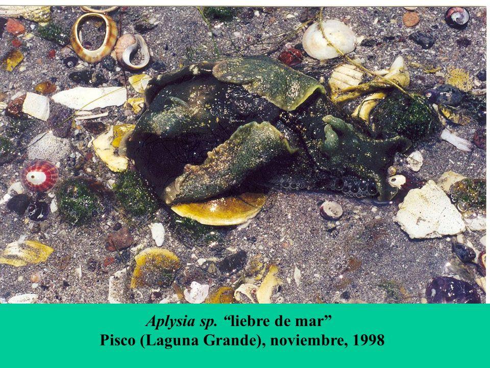Aplysia sp. liebre de mar Pisco (Laguna Grande), noviembre, 1998