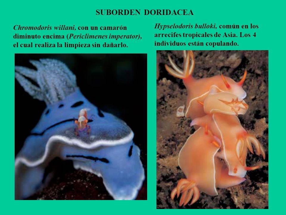 SUBORDEN DORIDACEA Chromodoris willani, con un camarón diminuto encima (Periclimenes imperator), el cual realiza la limpieza sin dañarlo. Hypselodoris