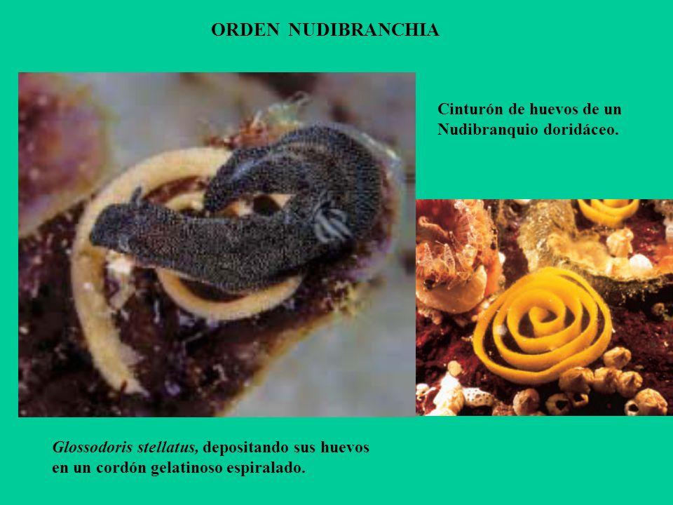 Glossodoris stellatus, depositando sus huevos en un cordón gelatinoso espiralado. ORDEN NUDIBRANCHIA Cinturón de huevos de un Nudibranquio doridáceo.
