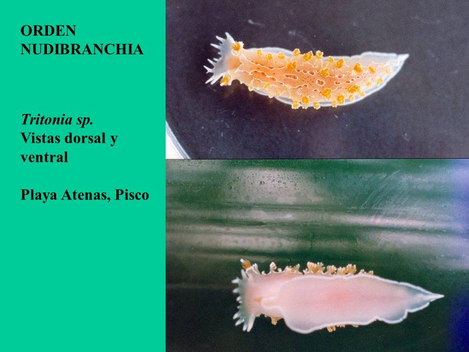 Tritonia sp. Vistas dorsal y ventral Playa Atenas, Pisco ORDEN NUDIBRANCHIA