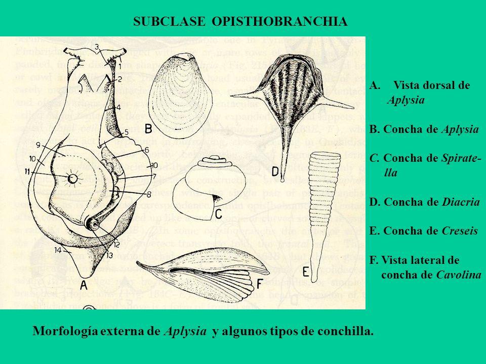 SUBCLASE OPISTHOBRANCHIA A.Vista dorsal de Aplysia B. Concha de Aplysia C. Concha de Spirate- lla D. Concha de Diacria E. Concha de Creseis F. Vista l