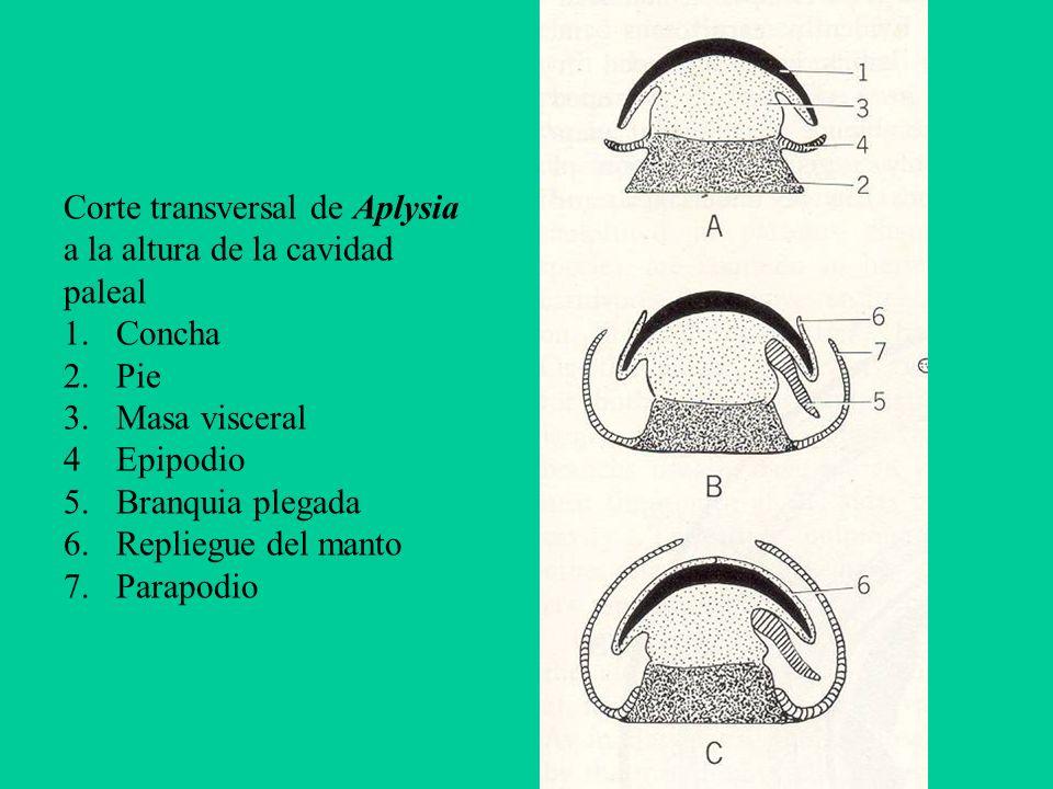 Corte transversal de Aplysia a la altura de la cavidad paleal 1.Concha 2.Pie 3.Masa visceral 4Epipodio 5.Branquia plegada 6.Repliegue del manto 7. Par