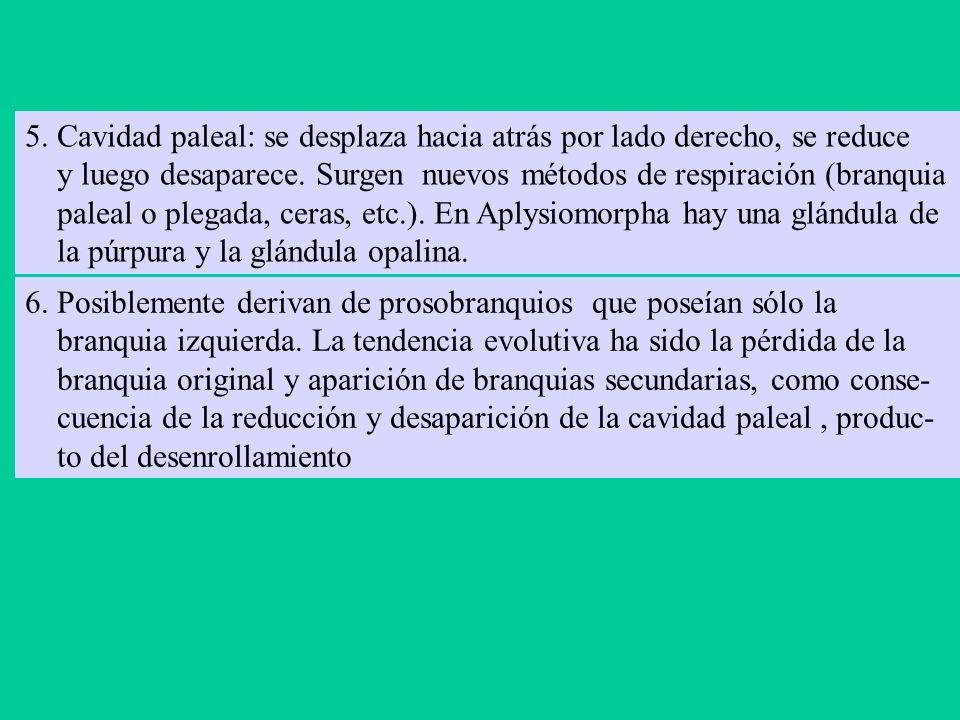 Aplysia sp. Piura (Máncora), octubre, 2003