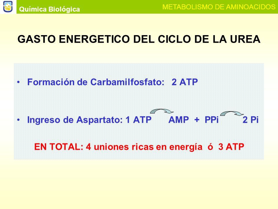Química Biológica METABOLISMO DE AMINOACIDOS Interconexión del Ciclo de la Urea con el Ciclo de Krebs MDH MDH Fumarasa GOT