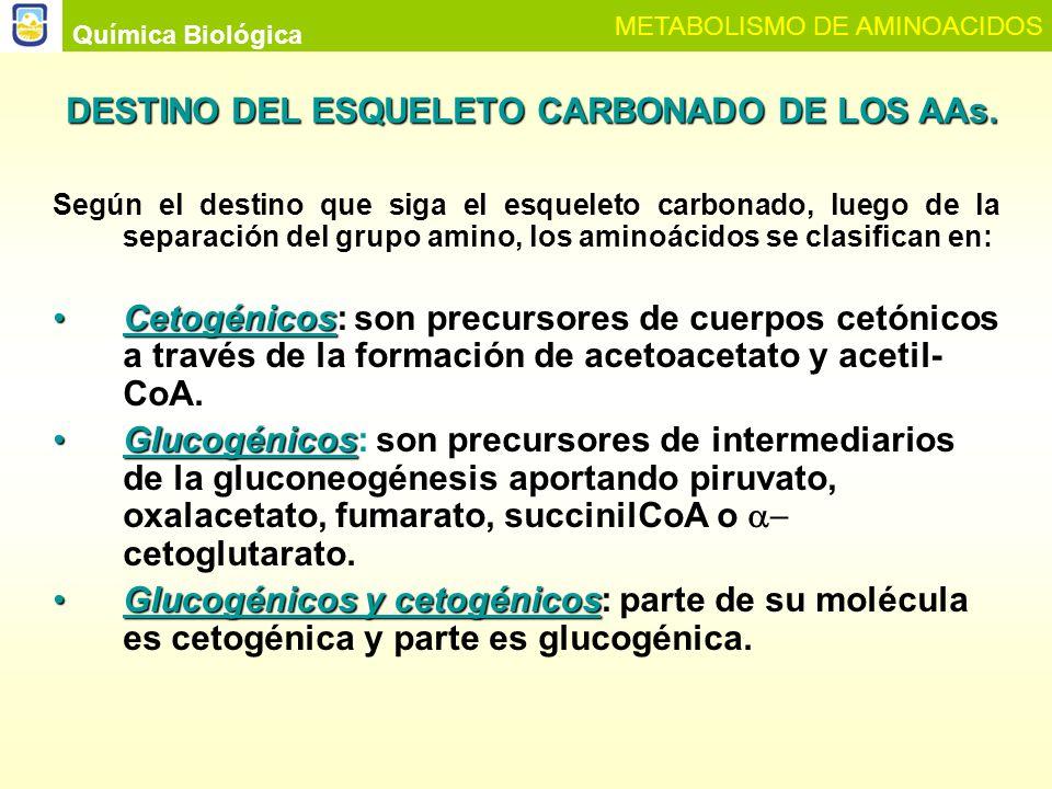 Química Biológica METABOLISMO DE AMINOACIDOS Cuerpos cetónicos Glucosa Ciclo de Krebs Treonina