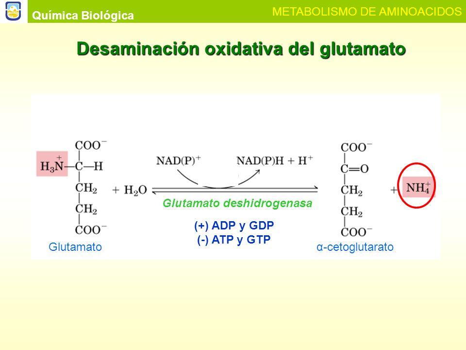 Química Biológica METABOLISMO DE AMINOACIDOS Desaminación oxidativa por aminoácido oxidasas peroxisomales D-aminoácido + H 2 O + E-FAD E-FADH 2 + O 2 D-aminoácido oxidasa E-FAD + H 2 O 2 -cetoácido + NH 4 + + E-FADH 2 L-aminoácido oxidasa E-FMNH 2 + O 2 E-FMN + H 2 O 2 L-aminoácido + H 2 O + E-FMN -cetoácido + NH 4 + + E- FMNH 2 2 H 2 O 2 2 H 2 O + O 2 Catalasa