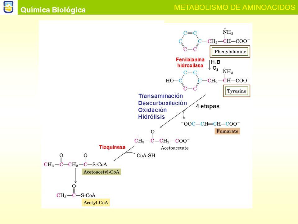 AMINOACIDOS COMO PRECURSORES EN LA BIOSINTESIS DE AMINAS BIOLOGICAS Muchas de las aminas biológicas formadas por descarboxilación de algunos aminoácidos son sustancias de importancia funcional Para este proceso de síntesis el organismo utiliza piridoxalfosfato (PLP) como coenzima Química Biológica METABOLISMO DE AMINOACIDOS