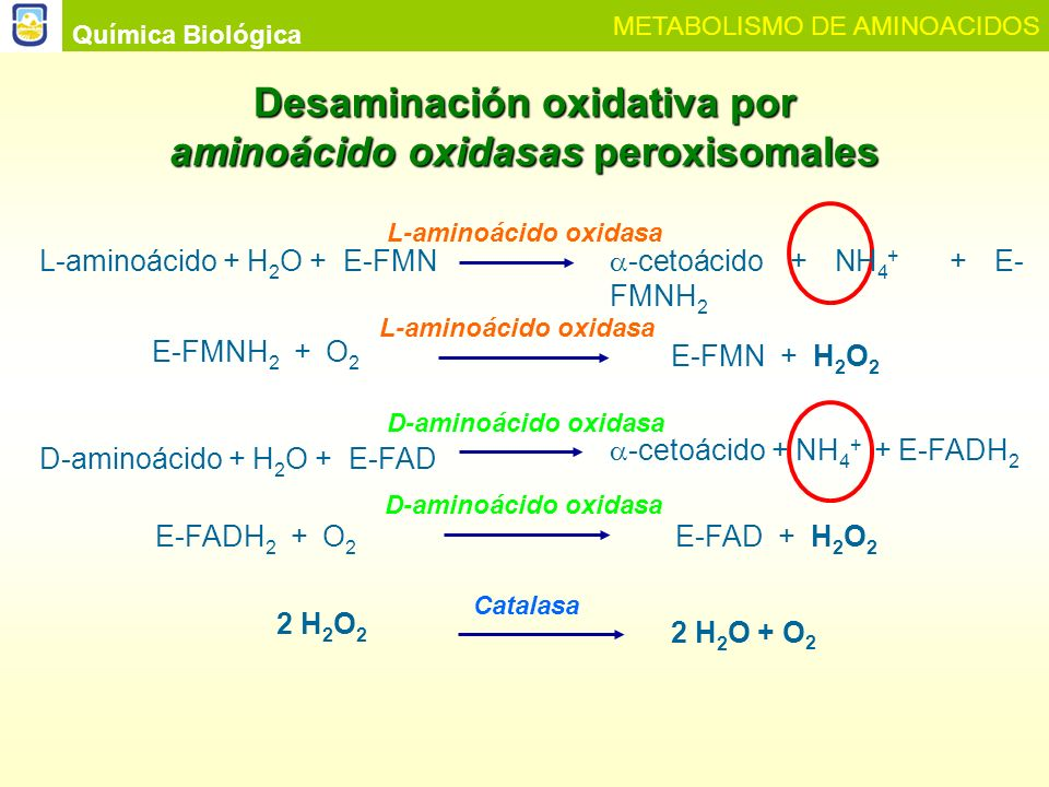 Química Biológica METABOLISMO DE AMINOACIDOS Desaminación no oxidativa Serina COO - C CH 3 O Piruvato + NH 4 + PLP Serina deshidratasa H2OH2OH2OH2O Treonina PLP Treonina deshidratasa H2OH2OH2OH2O COO - C CH 2 CH 3 O α-cetobutirato + NH 4 +