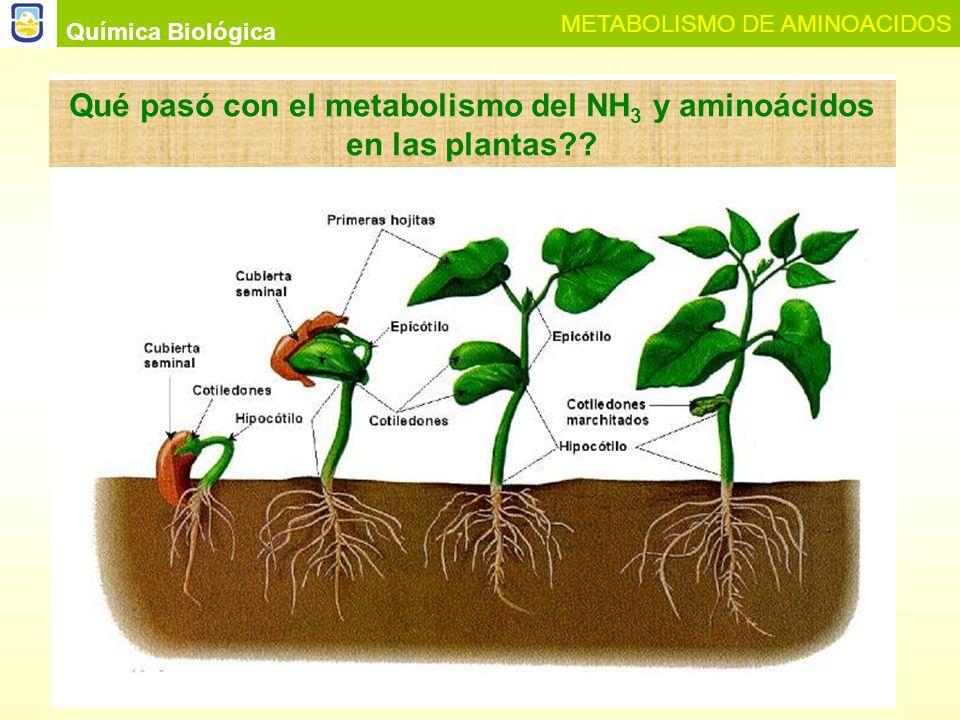 Fijación del Nitrógeno en las plantas NH 4 + Nitrogenasa NADH NADPH Química Biológica METABOLISMO DE AMINOACIDOS