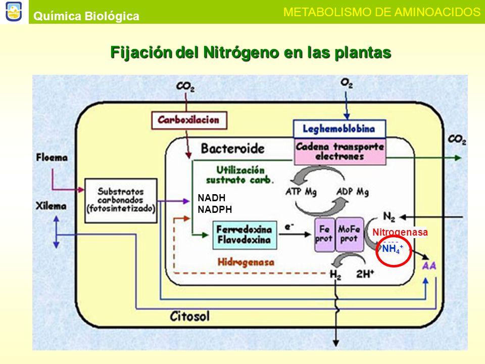 Plantas que no pueden fijar N2 (mayoría de los cultivos excepto leguminosas) Fuentes importantes de nitrógeno: NO 3 - y NH 4 + NO 3 - NO 2 - + H 2 O NADH + H + NAD + Nitrato reductasa NO 2 - + 3H 2 O + 2H + Nitrito reductasa LUZ Ferredoxina NH 4 + + 2H 2 O + 1.5 O 2 AMINOACIDOS PROTEINAS Citosol Cloroplastos o Protoplastidios Química Biológica METABOLISMO DE AMINOACIDOS