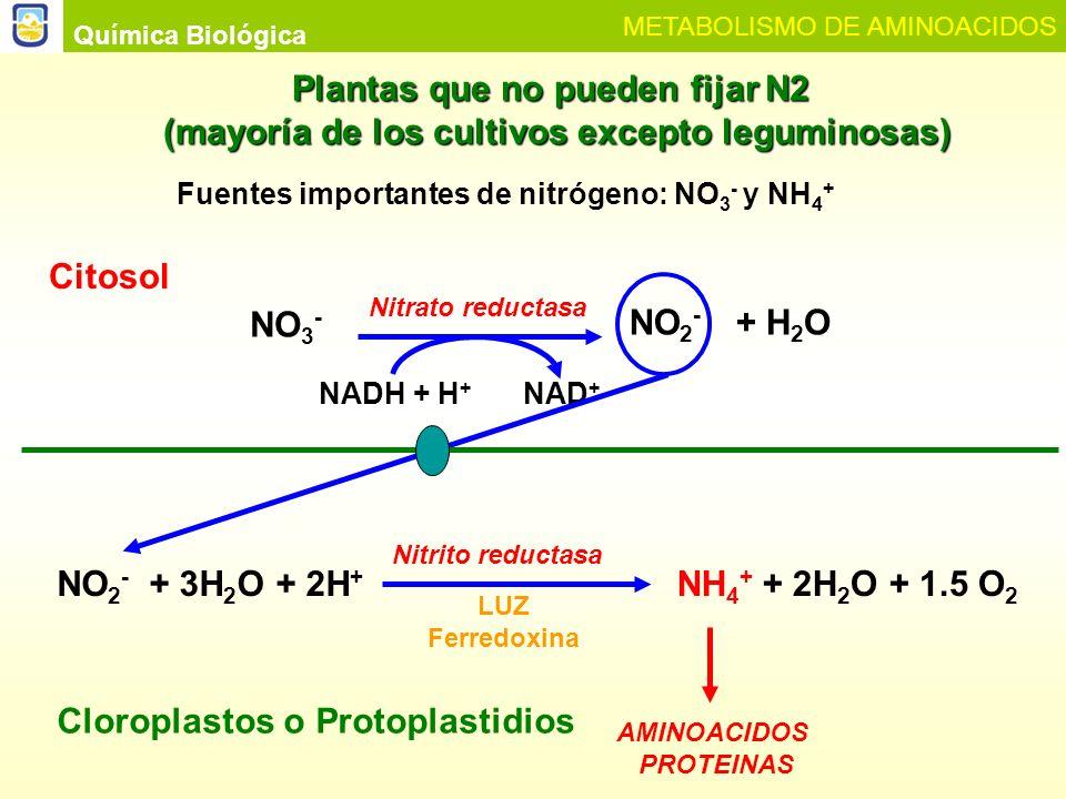 Química Biológica METABOLISMO DE AMINOACIDOS Glutaminasintetasa Glutamatosintasa Ferredoxina red.