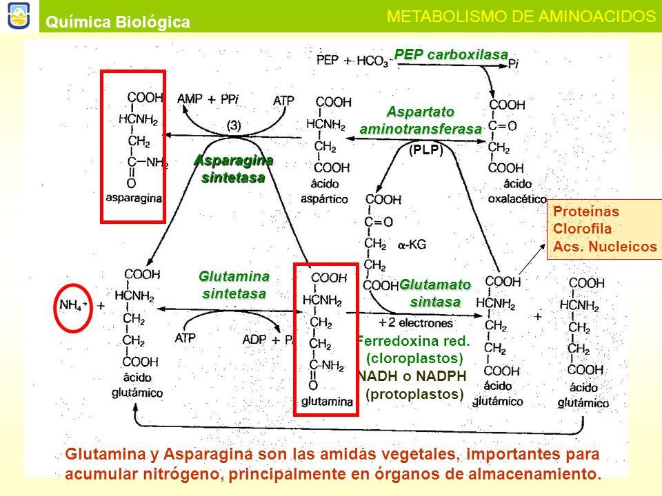 Química Biológica METABOLISMO DE AMINOACIDOS Ciclo fotorrespiratorio del Nitrógeno.