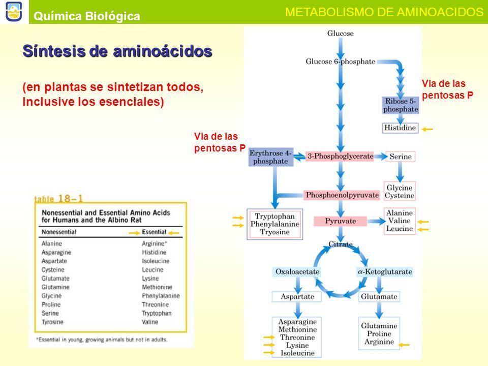 Química Biológica METABOLISMO DE AMINOACIDOS Bibliografía 1- BLANCO A., Química Biológica, Ed.