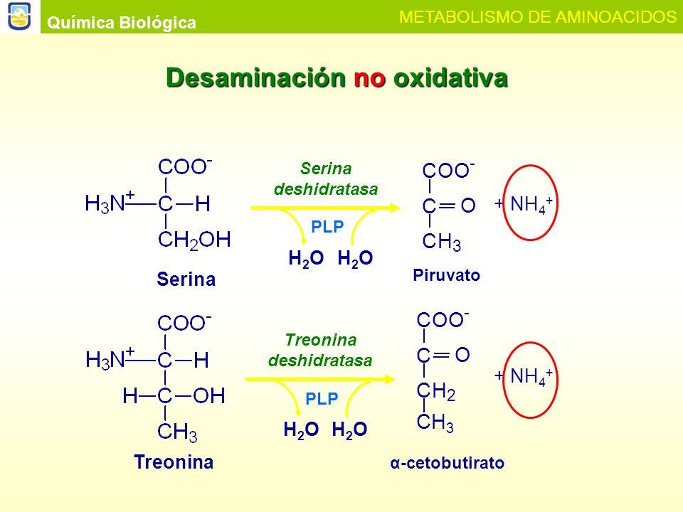 Química Biológica METABOLISMO DE AMINOACIDOS Toxicidad del amoníaco Glutamatoα-cetoglutarato Glutamato deshidrogenasa α-cetoglutarato Ciclo de KrebsATP