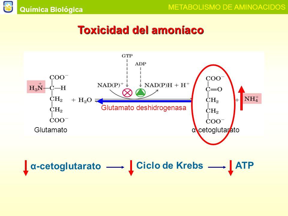 Química Biológica METABOLISMO DE AMINOACIDOS ¿Cómo el hace el organismo para evitar la hiperamonemia y transportar el amoníaco hasta los sitios de eliminación.
