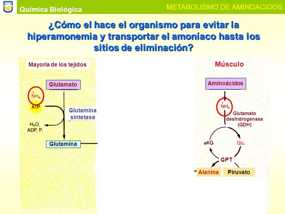 Química Biológica METABOLISMO DE AMINOACIDOS Glutaminasa Extraído de Lehninger, 2008.