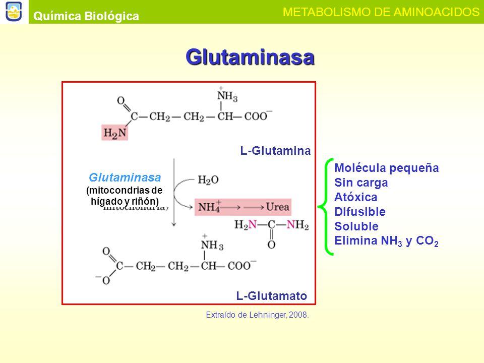 Química Biológica METABOLISMO DE AMINOACIDOS Formas de excreción del nitrógeno en las diferentes especies animales Ion Amonio Urea Acido Urico Animales amonotélicos: mayoría de vertebrados acuáticos.