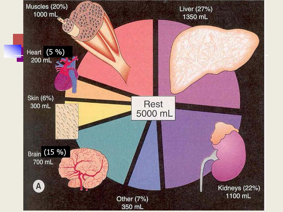 Características principales de la circulación en el músculo esquelético Mayor lecho vascular (masa) Bajo flujo y extracción de oxígeno (25% ) Compresión de los vasos Bomba muscular Gran influencia sobre: Regulación de la PAM ( RPT) Llenado cardíaco (retorno venoso)