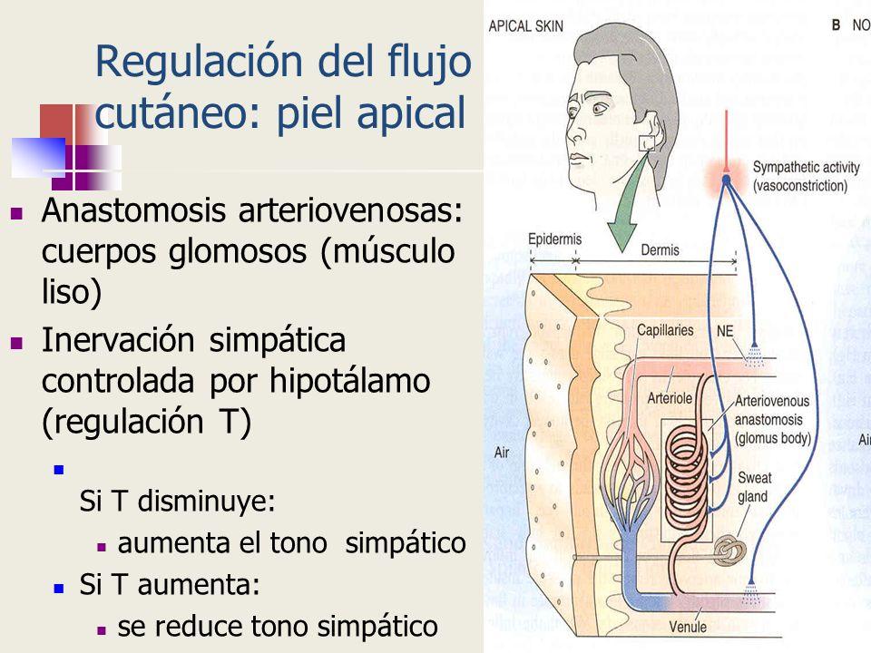 Regulación del flujo cutáneo: piel apical Anastomosis arteriovenosas: cuerpos glomosos (músculo liso) Inervación simpática controlada por hipotálamo (
