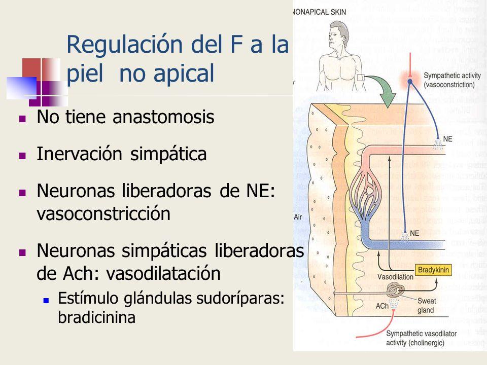 Regulación del F a la piel no apical No tiene anastomosis Inervación simpática Neuronas liberadoras de NE: vasoconstricción Neuronas simpáticas libera