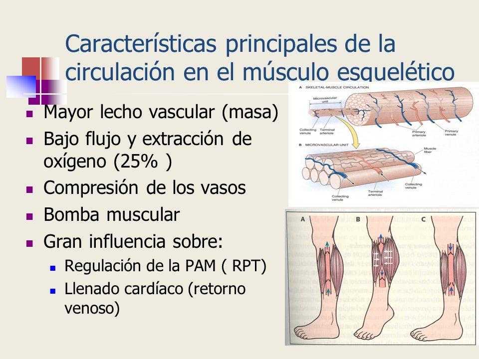 Características principales de la circulación en el músculo esquelético Mayor lecho vascular (masa) Bajo flujo y extracción de oxígeno (25% ) Compresi