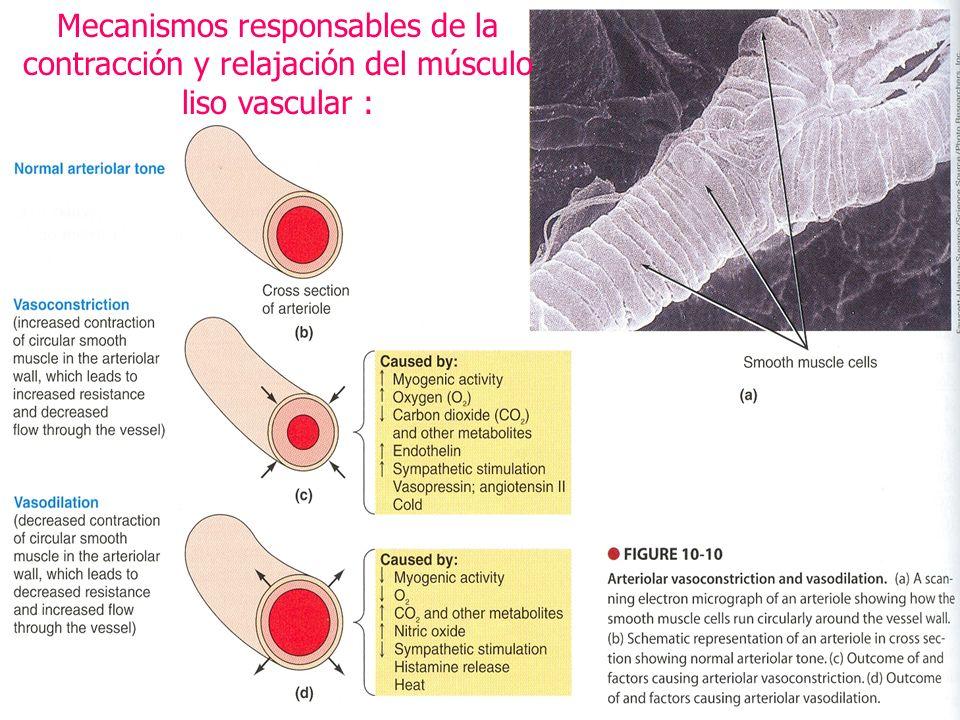 Características de la circulación en el músculo cardiaco Alta demanda energética: Oxidación de AGL (60%) y CHO (40%), cuerpos cetónicos, lactato y piruvato Densidad capilar: 3000/mm 2 Elevada: EO 2 (75%), flujo basal (10x), Dif a-vO 2 y MVO 2 Cuando ocurre hipoxia: Usa reservas glucógeno y produce lactato Estímulo de nociceptores: angina pectoris Hipoxia prolongada: necrosis (infarto del miocardio)