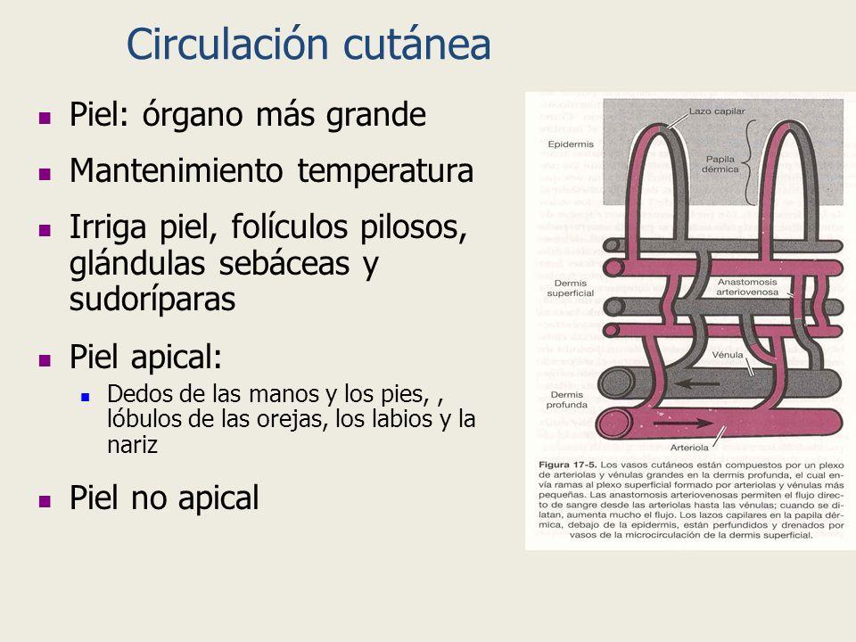 Circulación cutánea Piel: órgano más grande Mantenimiento temperatura Irriga piel, folículos pilosos, glándulas sebáceas y sudoríparas Piel apical: De