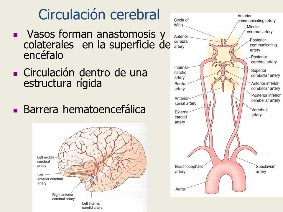 Circulación cerebral Vasos forman anastomosis y colaterales en la superficie del encéfalo Circulación dentro de una estructura rígida Barrera hematoen
