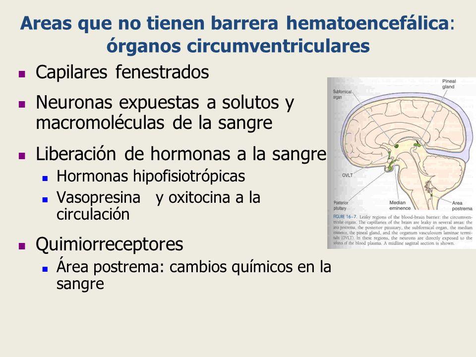 Areas que no tienen barrera hematoencefálica: órganos circumventriculares Capilares fenestrados Neuronas expuestas a solutos y macromoléculas de la sa