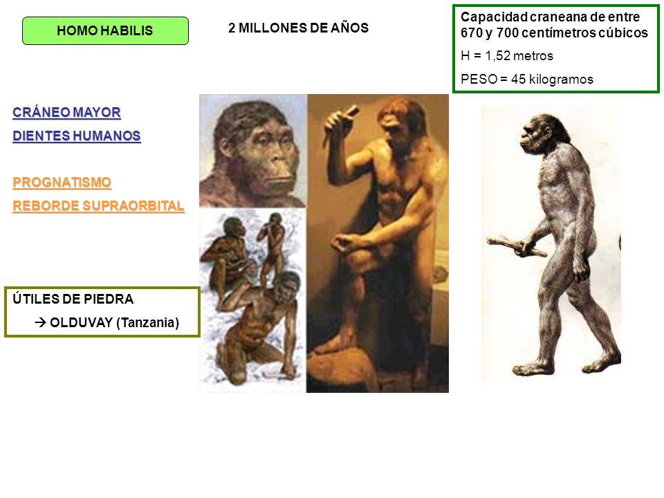 HOMO ERGASTER CAPACIDAD CRANEANA 800-900 cm3 ARCO SUPRAORBITARIO MUY DESARROLLADO REDUCCIÓN TAMAÑO DE LOS MOLARES ALIMENTACIÓN = BASE CARNÍVORA (grasas,….) ÚTILES = HACHAS DE MANO PRIMEROS HUMANOS QUE ABANDONARON ÁFRICA DESDE 1,9 1,2 millones de años