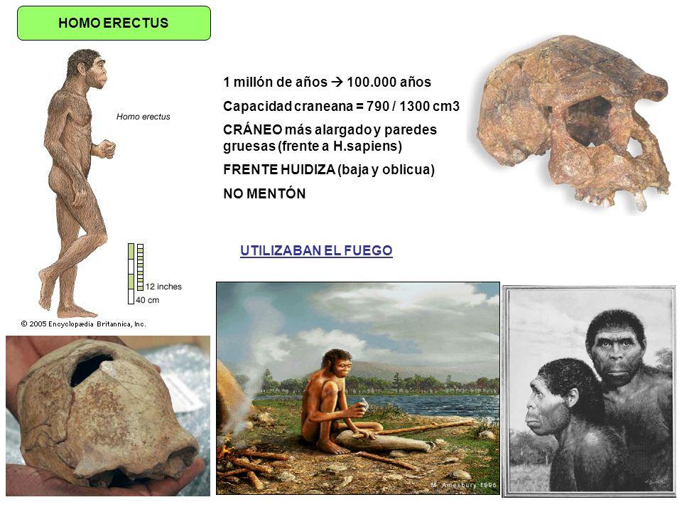 HOMO ERECTUS 1 millón de años 100.000 años Capacidad craneana = 790 / 1300 cm3 CRÁNEO más alargado y paredes gruesas (frente a H.sapiens) FRENTE HUIDI