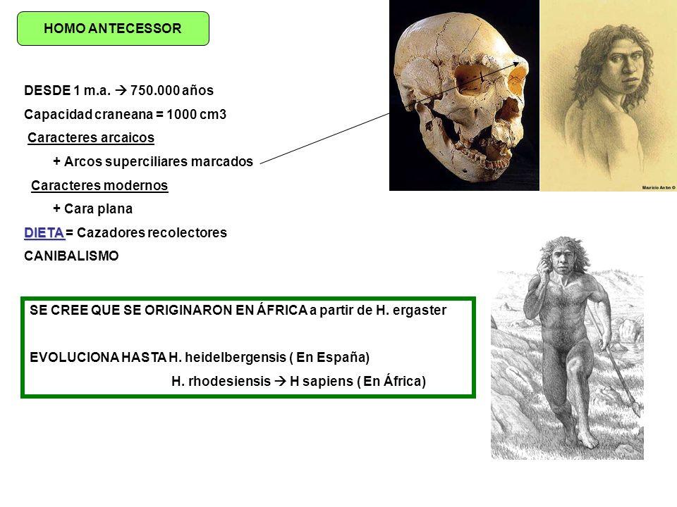 HOMO ANTECESSOR DESDE 1 m.a. 750.000 años Capacidad craneana = 1000 cm3 Caracteres arcaicos + Arcos superciliares marcados Caracteres modernos + Cara