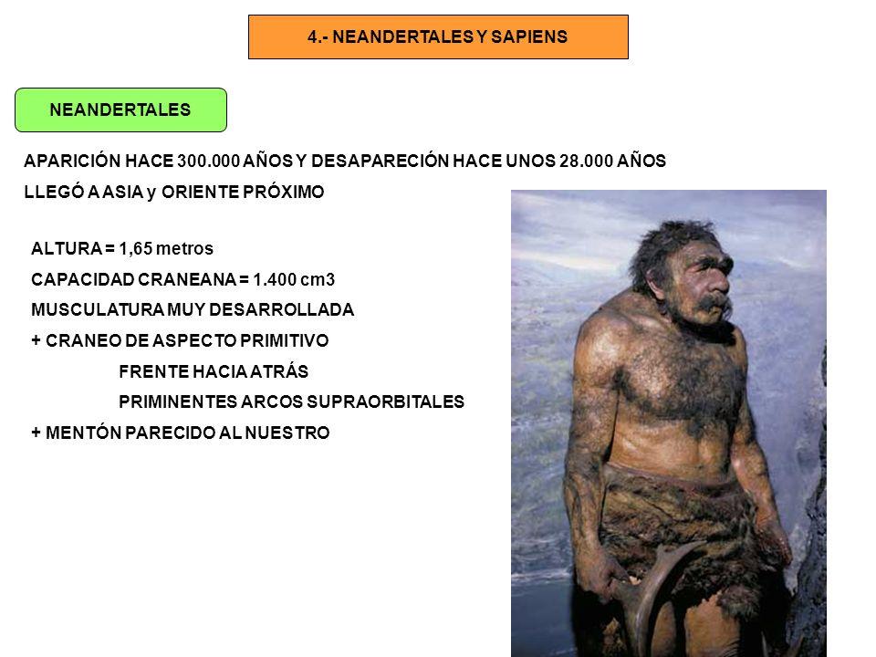 HOMO RODHESIENSIS ANTEPASADO AFRICANO DE HOMO SAPIENS SAPIENS APARECE HACE 400.000 años DESAPARECE HACE más o menos 200.000 años Capacidad craneana = > 1000 cm3 H.