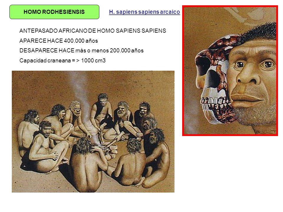 HOMO RODHESIENSIS ANTEPASADO AFRICANO DE HOMO SAPIENS SAPIENS APARECE HACE 400.000 años DESAPARECE HACE más o menos 200.000 años Capacidad craneana =