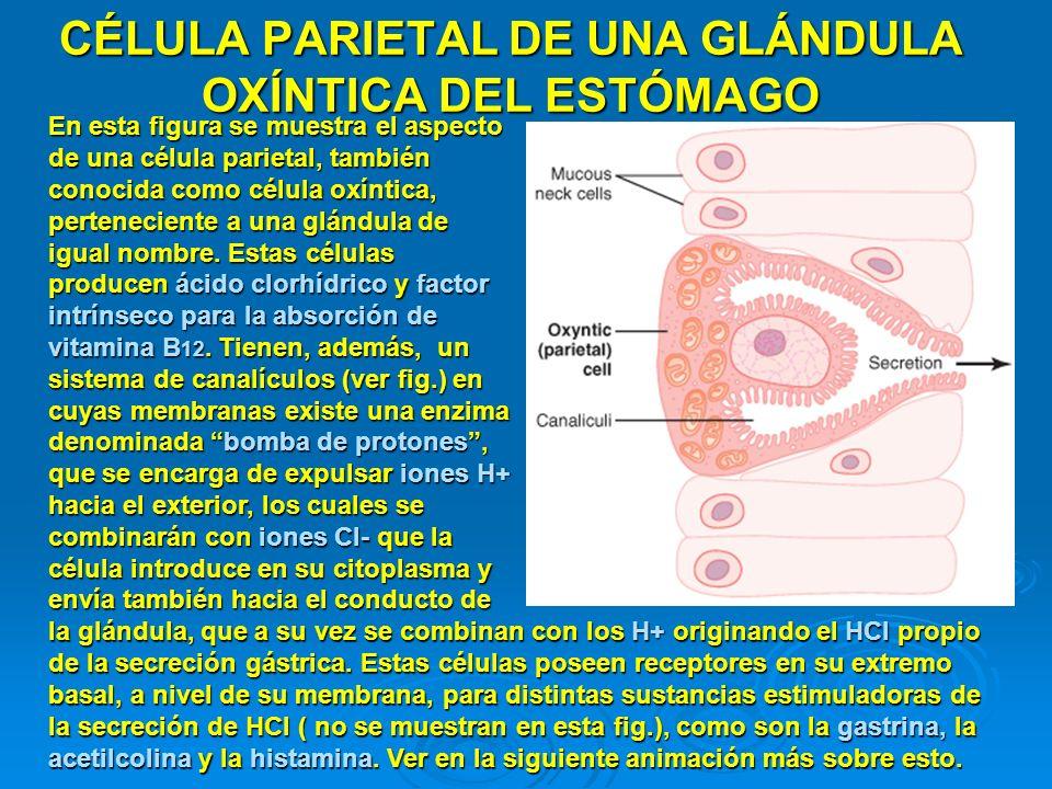 CÉLULA PARIETAL DE UNA GLÁNDULA OXÍNTICA DEL ESTÓMAGO En esta figura se muestra el aspecto de una célula parietal, también conocida como célula oxínti