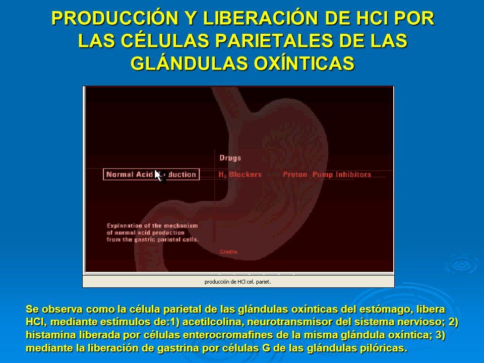 PRODUCCIÓN Y LIBERACIÓN DE HCl POR LAS CÉLULAS PARIETALES DE LAS GLÁNDULAS OXÍNTICAS Se observa como la célula parietal de las glándulas oxínticas del
