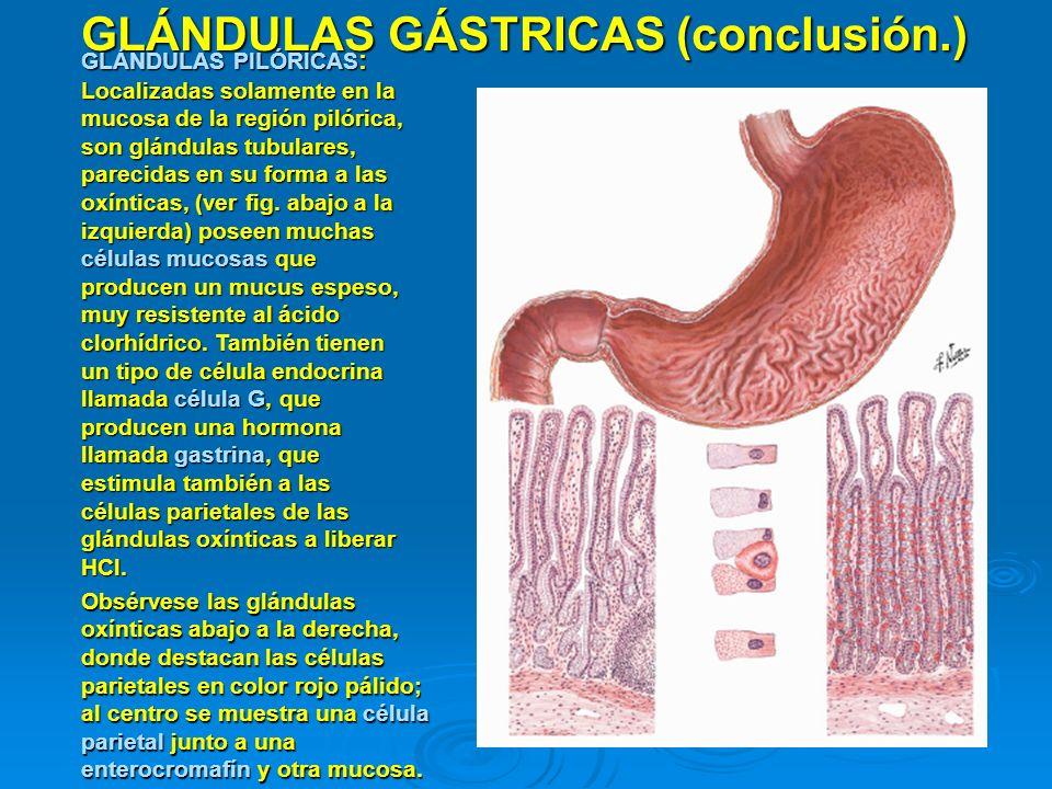 GLÁNDULAS GÁSTRICAS (conclusión.) GLÁNDULAS PILÓRICAS : Localizadas solamente en la mucosa de la región pilórica, son glándulas tubulares, parecidas e