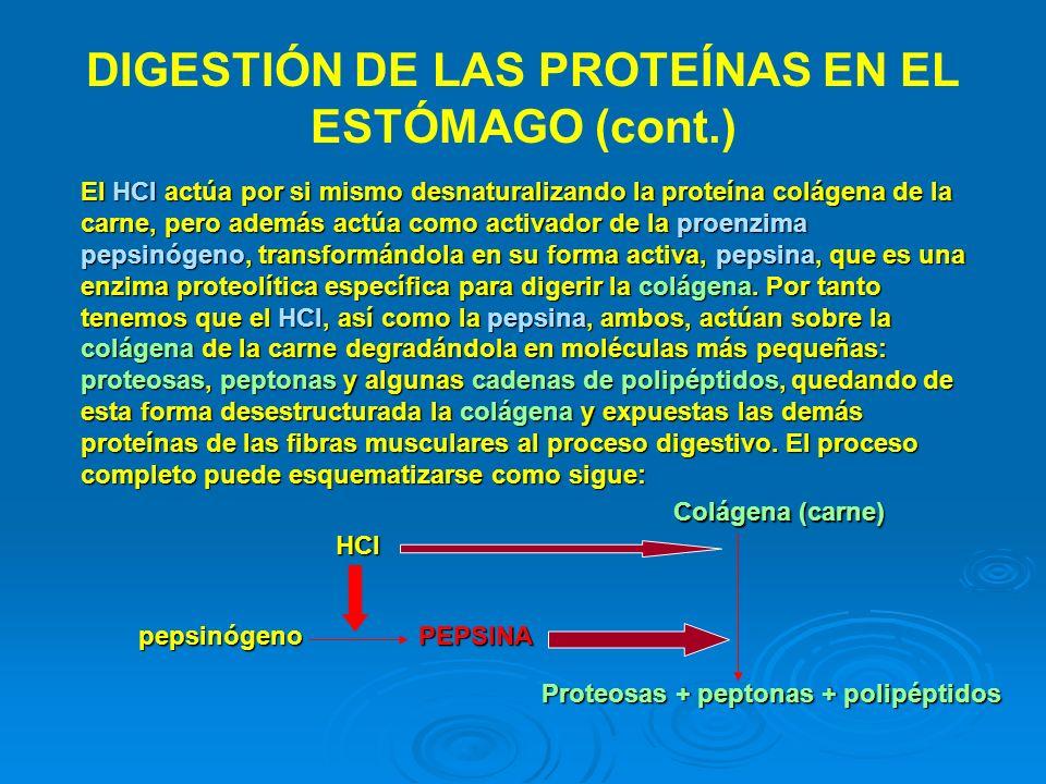 DIGESTIÓN DE LAS PROTEÍNAS EN EL ESTÓMAGO (cont.) El HCl actúa por si mismo desnaturalizando la proteína colágena de la carne, pero además actúa como