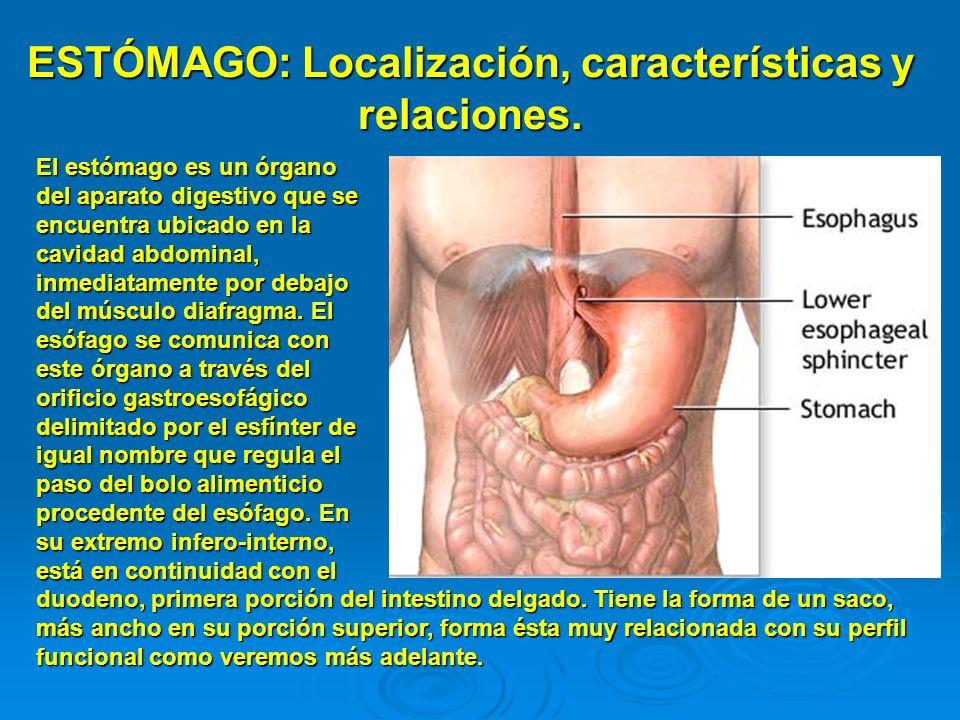 ESTÓMAGO: Localización, características y relaciones. El estómago es un órgano del aparato digestivo que se encuentra ubicado en la cavidad abdominal,
