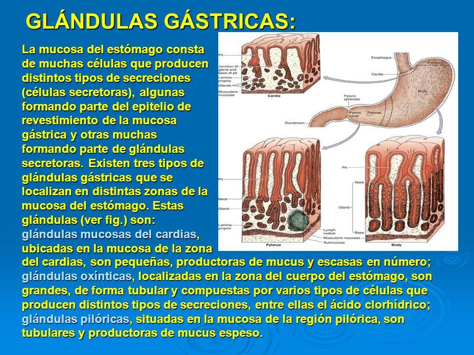 GLÁNDULAS GÁSTRICAS: La mucosa del estómago consta de muchas células que producen distintos tipos de secreciones (células secretoras), algunas formand