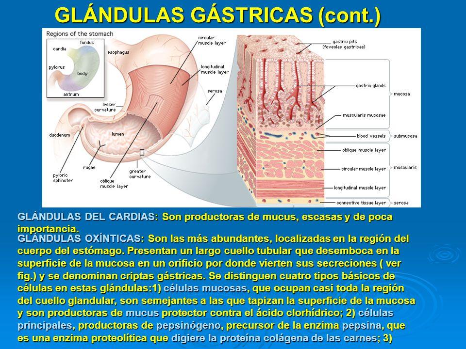 GLÁNDULAS GÁSTRICAS (cont.) GLÁNDULAS DEL CARDIAS: Son productoras de mucus, escasas y de poca importancia. GLÁNDULAS OXÍNTICAS: Son las más abundante