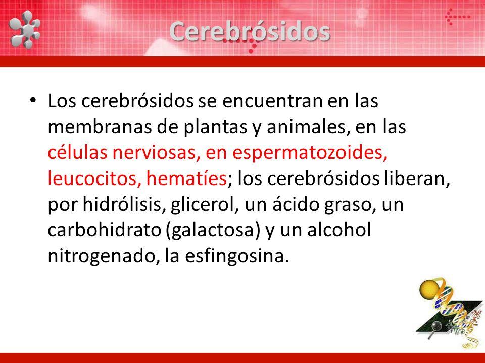 Cerebrósidos Los cerebrósidos se encuentran en las membranas de plantas y animales, en las células nerviosas, en espermatozoides, leucocitos, hematíes