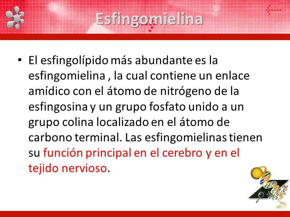 Esfingomielina El esfingolípido más abundante es la esfingomielina, la cual contiene un enlace amídico con el átomo de nitrógeno de la esfingosina y u