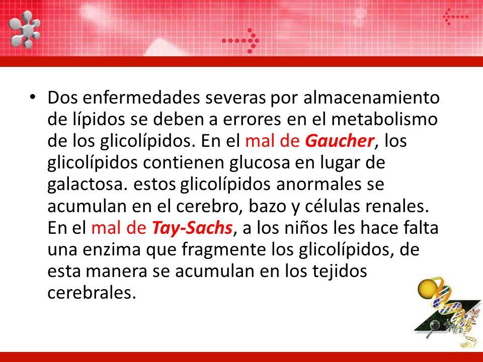 Dos enfermedades severas por almacenamiento de lípidos se deben a errores en el metabolismo de los glicolípidos. En el mal de Gaucher, los glicolípido